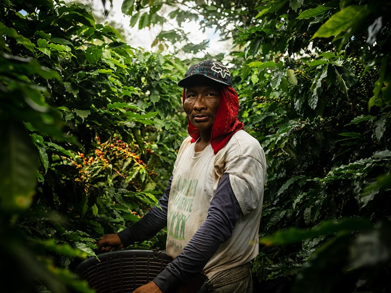 Coffee grower working in a coffee plant